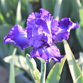 Re-Blooming Bearded Iris - Dashing