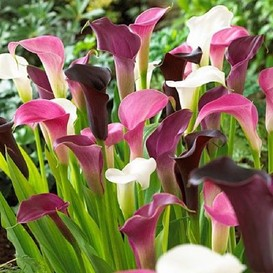 Calla Lily Bulbs - Pastel Mix