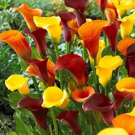 Calla Lily Bulbs - Hot Mix