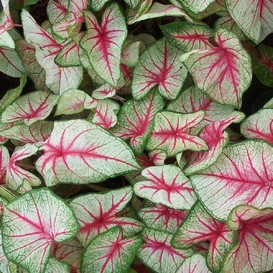 Caladium Bulbs - White Queen