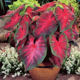 Caladium Bulbs - Red Flash