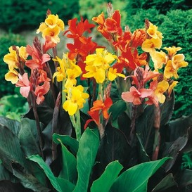 Canna Lily Bulbs - Mixed