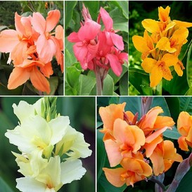 Canna Lily Bulbs - Pastel Mix