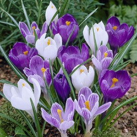 Crocus Bulbs (Large Flowering) - Blue Moon Mix