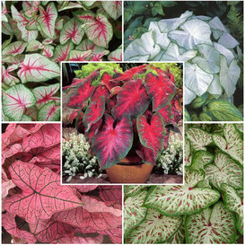 Caladium Bulbs - Sun Tolerant Collection