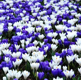 Crocus Bulbs - Purple & White Mix