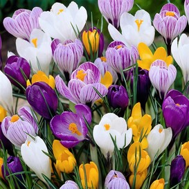 Crocus Bulbs - Large Flowering Mix