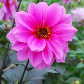Dahlia Tubers (Decorative) - Fascination