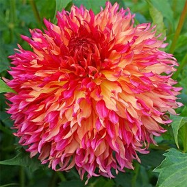 Dahlia Bulbs (Dinnerplate) - Myrtle's Folly