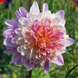 Dahlia Tubers (Decorative) - Take Off