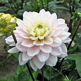 Dahlia Bulbs (Decorative) - Silver Years