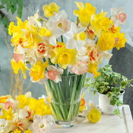 Daffodil Bulbs - Spring Equinox Mix