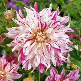Dahlia Bulbs (Dinnerplate) - Bristol Stripe