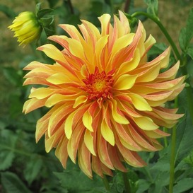 Dahlia Bulbs (Decorative) - Irish Pinwheel