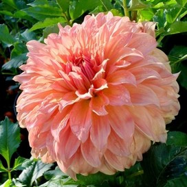 Dahlia Bulbs (Dinnerplate) - Mango Madness