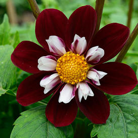 Dahlia Bulbs (Collarette) - Mary Evelyn