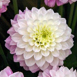 Dahlia Bulbs (Decorative) - Sweet Love