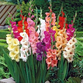 Gladiolus Flower Bulbs - Border Mix