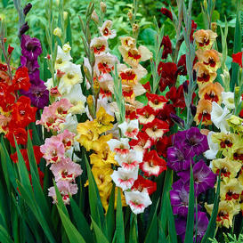 Gladiolus Flower Bulbs - Butterfly Mix
