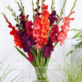 Gladiolus Flower Bulbs - Passion Mix