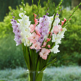 Gladiolus Flower Bulbs - Pastel Mix