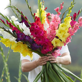 Gladiolus Flower Bulbs - Mixed
