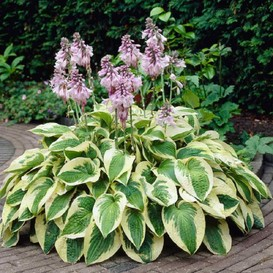 Hosta Roots (Fall-Planted) - Wide Brim