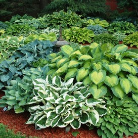 Hosta Roots (Fall-Planted) - Mix