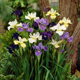 Siberian Iris Roots (Fall-Planted) - Mix