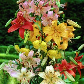 Tiger Lily Bulbs - Mix