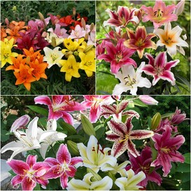 Lily Bulbs (Fall-Planted) - Landscaper Mix