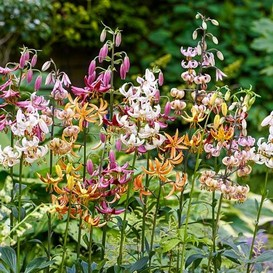 Lily Bulbs (Spring-Planted) - Martagon Mix