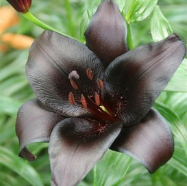 Lily Bulbs (Fall-Planted) - Night Rider