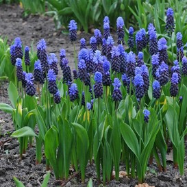 Grape Hyacinth Bulbs (Muscari) - Latifolium