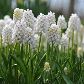 Grape Hyacinth Bulbs (Muscari) - White Magic