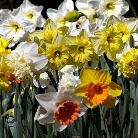 60 Days of Daffodils - Long Lasting Mix
