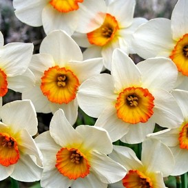 Daffodil Bulbs (Large Cupped) - Flower Record