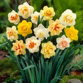 Daffodil Bulbs - Double Mixed