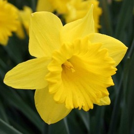 *Jumbo* Daffodil Bulbs (Trumpet) - Dutch Master