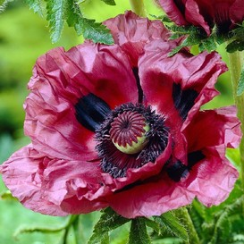 Papaver orientale Roots (Spring-Planted) - Patty's Plum