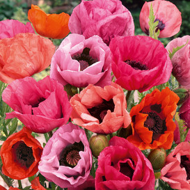 Papaver orientale Roots (Spring-Planted) - Fruit Punch Mix