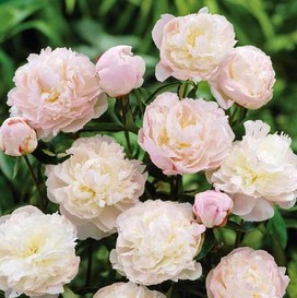 Peony Roots (Spring-Planted) - Jumbo Shirley Temple