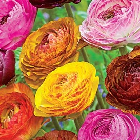 Ranunculus Bulbs (Spring-Planted) - Tecolote Picotee Mix