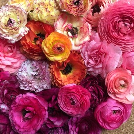 Ranunculus Bulbs (Spring-Planted) - Happy Mix