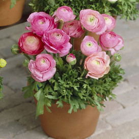 Ranunculus Bulbs (Spring-Planted) - Tecolote Pink