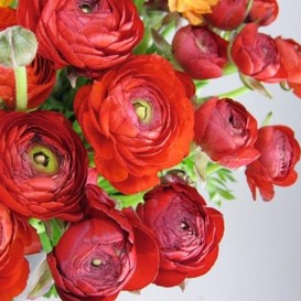 Ranunculus Bulbs (Spring-Planted) - Tecolote Red
