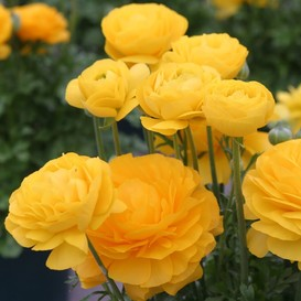 Ranunculus Bulbs (Spring-Planted) - Tecolote Yellow