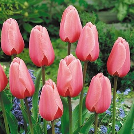 Tulip Bulbs - Pink Impression - Bag of 10