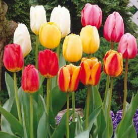 Tulip Bulbs - Darwin Hybrid Mix - Bag of 10