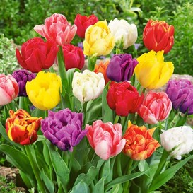 Tulip Bulbs - Double Early Mix